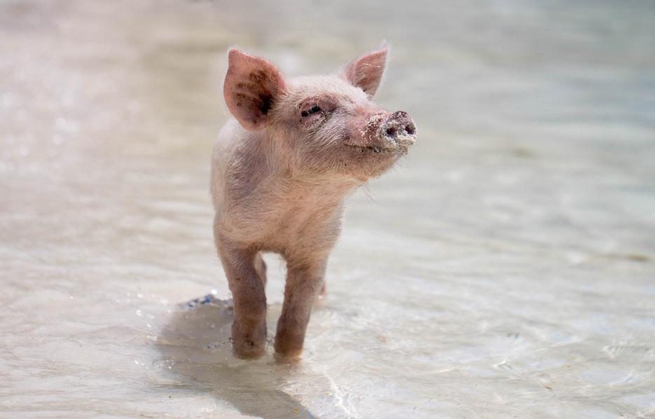 SAVE THE PIGS<dataavatar hidden data-avatar-url=https://secure.gravatar.com/avatar/985eb5a3abd6d4dfd3ea62c6030f32e9?s=96&d=mm&r=g></dataavatar>